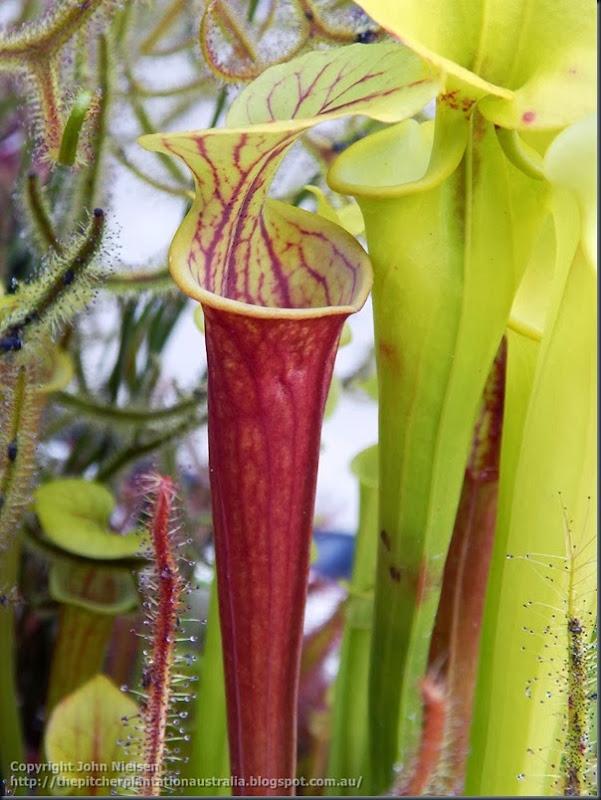 rubricorpora seedling