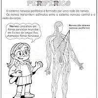 sistema nervoso periférico.jpg