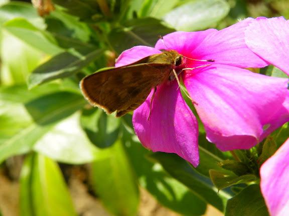 Hesperiidae : probablement Pompeius pompeius (LATREILLE, [1824]). Pitangui (MG, Brésil), 16 mai 2011. Photo : Nicodemos Rosa