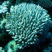 koral_18.jpg