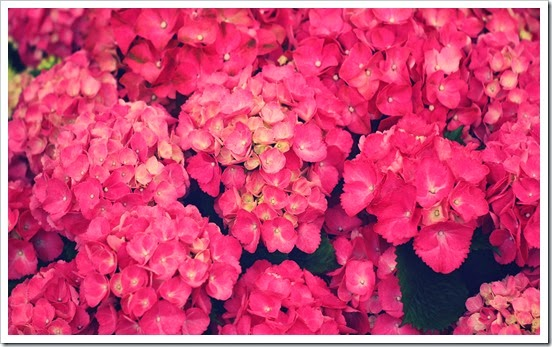 ws_Pink_Flowers_1920x1080