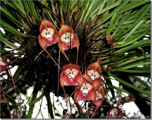 Monkey Orchids (2)