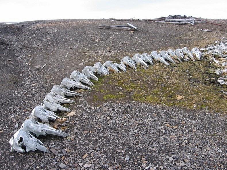 beluga-whale-bones-7