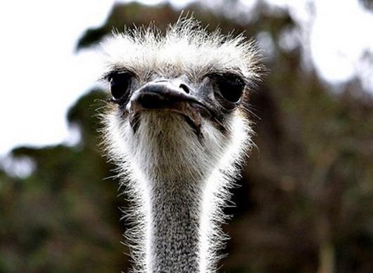 Африканский-страус