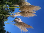 Dec 14 - Pampas Grass