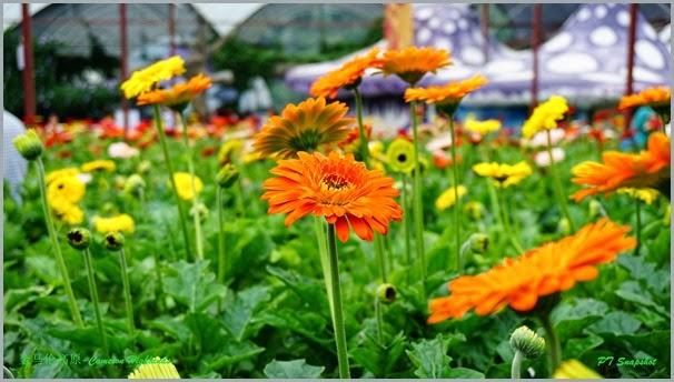非洲菊花圃