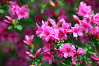 Azalea flowers can range in size and color from white, to pink, to purple, to red - there are no yellow azaleas and only a few orange varieties.