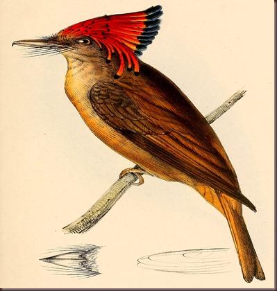 Amazing Animal Pictures Amazonian Royal Flycatcher (9)