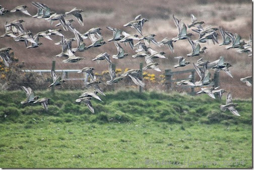 12 golden-plovers-2