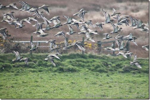 12 golden-plovers-2