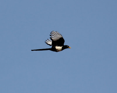 MY MOST-WANTED CA BIRD: Yellow-billed Magpie!!!