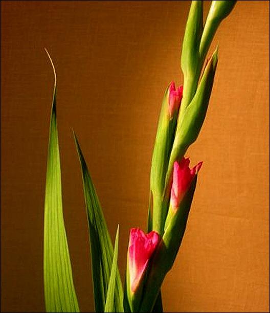 Gladiolus G Pink Lady