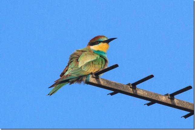 Seaburn_Bee-eater-4