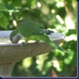 parrot150