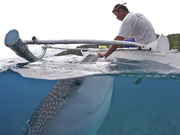 A whale shark approaches a local fisherman to be hand-fed brine shrimp in shallow waters 01