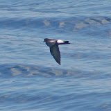 Wilson's storm petrel