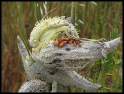 milkweed pods with bugs
