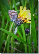 common blue female chasewater May 2014 (1)
