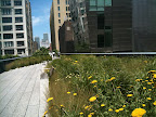 Wildflower path along the High Line.