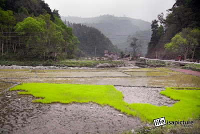 Nepal has roadside rice fields