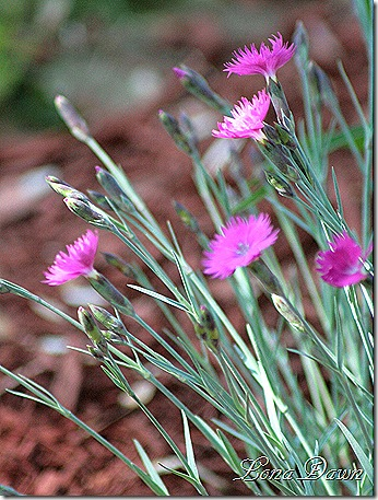 Dianthus_Brilliant