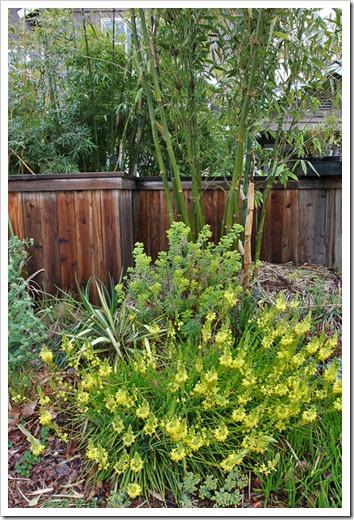 120330_Bulbine-frutescens- -Bambusa-oldhamii