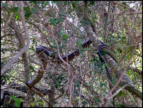 Large Rat Snake above the motorhome