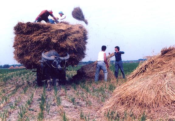 牛車載稻草