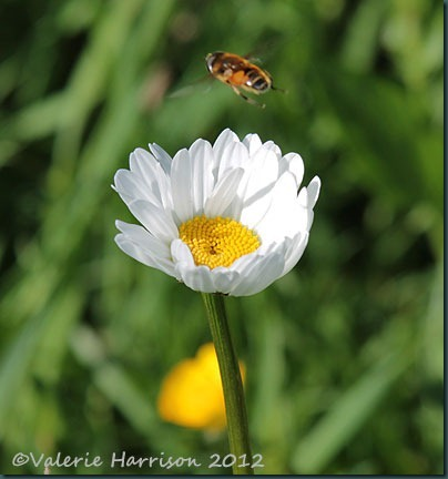 hoverfly-and-daisy