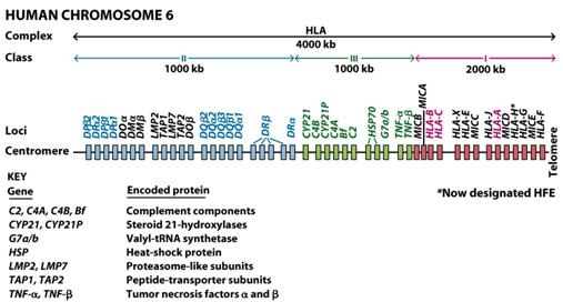 Human chromosome 6