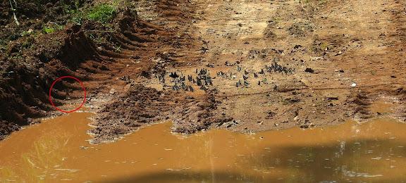 Rassemblement de Papilionidae mud-puddlant. Dans le cercle rouge : Papilio antimachus DRURY, 1782. Bobiri Forest (Ghana), 21 janvier 2006. Photo : J. F. Christensen