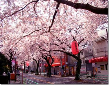 01 Japan Sakura
