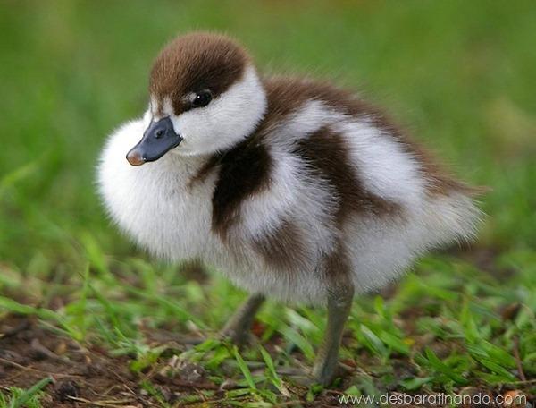 filhotes-patos-fofos-pequenos-desbaratinando (14)