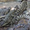 krokodile.jpg