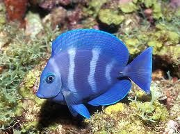blue fish