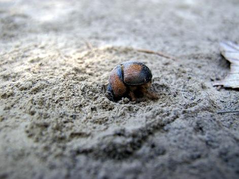 burrowing beetle close