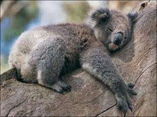 Amazing Pictures of Animals, Photo, Nature, Incredibel, Funny, Zoo, Koala, Phascolarctos cinereus, Alex (6)