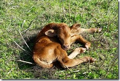Lonely calf