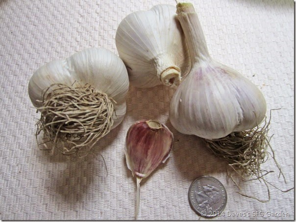 German_Red_garlic