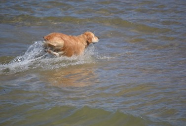 Not Casey; someone else's dog enjoying the water!