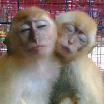 Gambar Lucu Monyet Lagi Kasmaran