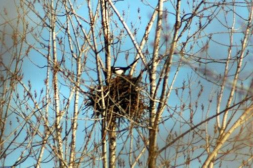 Black-Billed Magpie (Pica hudsomia) up on it's nest