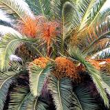 En plein mois de Ramadhan dans les palmeraies de Biskra, La datte de toutes les sueurs
