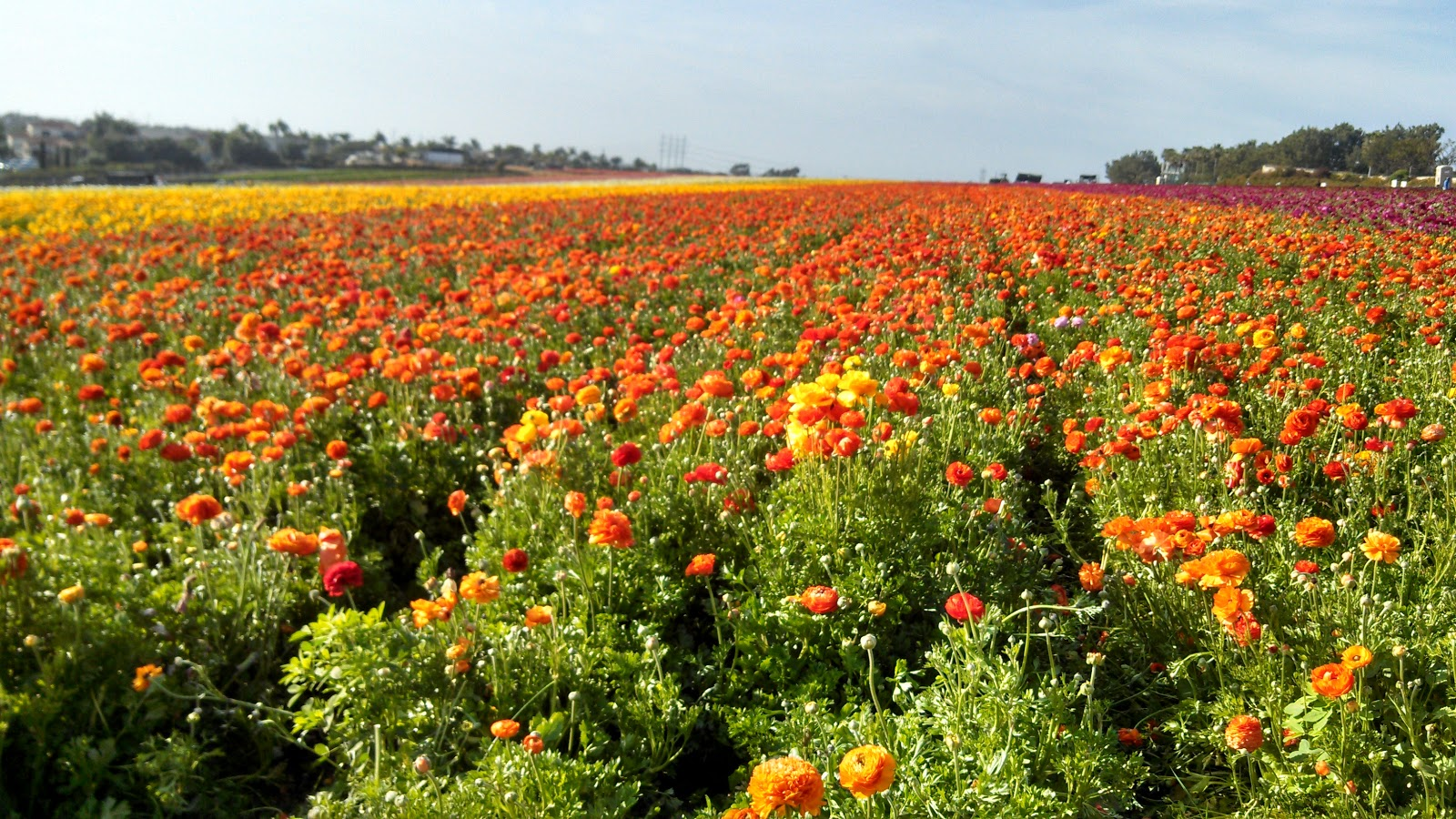 Travel From Coast to Coast The Flower Fields Carlsbad CA