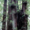 Joined at the Burl. Stout Grove.  Jedediah Smith Redwoods State Park.  Redwood National and State Parks.  California.  August 25, 2012.