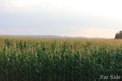 What lurks in a Minnesota Cornfield