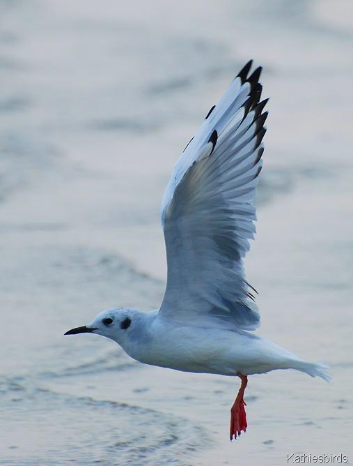 3. bonaparte's gull-kab