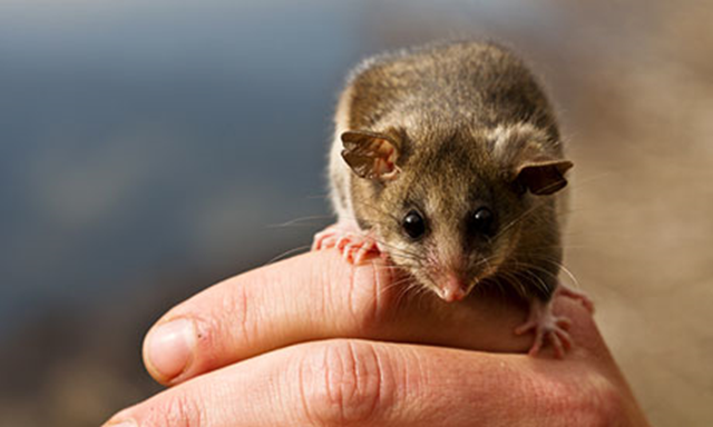 Australia's endangered mountain pygmy possum has been earmarked for relocation due to its vulnerability to climate change. Photo: Timothy Arch / AAP Image