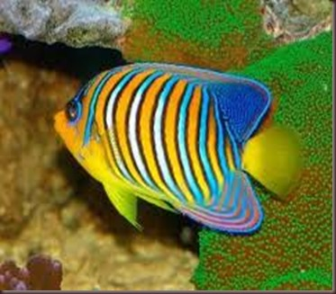 Amazing Pictures of Animals, photo Nature, exotic, funny, incredibel Zoo, Regal angelfish, Alex (9)