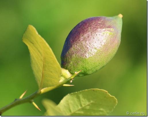 citrus limon (2)
